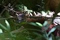 The ring-tailed mongoose (Galidia elegans) (15285414104).jpg