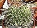 Thelocactus rinconensis 3.jpg