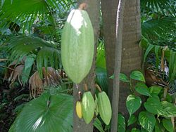 Árbore do cacao