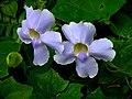 Thunbergia grandiflora3.jpg