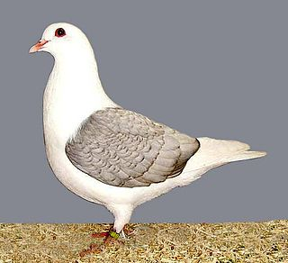 Thuringian Colour pigeons pigeon breed group