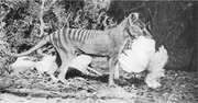 This 1921 photo by Henry Burrell of a Thylacine with a chicken was widely distributed and may have helped secure the animal's reputation as a poultry thief. In fact the image is cropped to hide the fenced run and housing, and analysis by one researcher has concluded that this Thylacine is a mounted specimen, posed for the camera.
