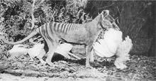 220px-Thylacine-chicken dans LOUP