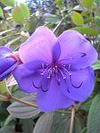 Tibouchina urvilleana flower ja.jpg