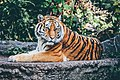 Tiger in a zoo (Unsplash).jpg