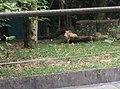 Tigers in Zoo Negara Malaysia (33).jpg