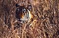 Tigress (Panthera tigris) in the grass (19816731232).jpg