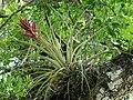 Tillandsia fasciculata.jpg