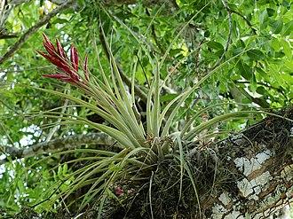 Tillandsia - Tillandsia fasciculata