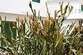 Tinajo La Santa - Lugar la Santa - Euphorbia enterophora 03 ies.jpg