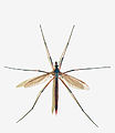 Tipula oleracea female (Linnaeus 1758).jpg