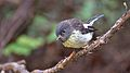 Tomtit perched on manuka branch.jpg