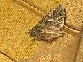 Trachea atriplicis - Orache moth - Совка лебедовая (27258342088).jpg
