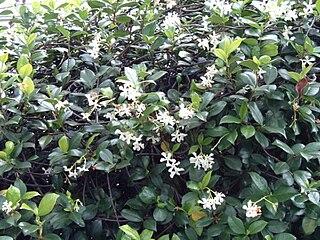 <i>Trachelospermum</i> genus of plants