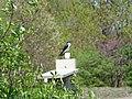Tree swallow (34226116616).jpg