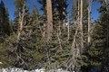 Trees, Mammoth Lakes, California LCCN2013633655.tif