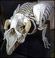 Trichecus manatus skeletton Lamantin GLAM MHNL 2016 Lamiot 46.JPG
