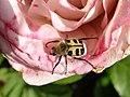 Trichius fasciatus rose.jpg