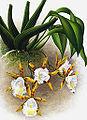 Trichopilia brevis - Linden.jpg