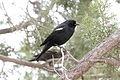 Tricolored Blackbird (Agelaius tricolor) (13853852714).jpg