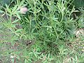 Trifolium arvense hojas.jpg