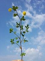 Trifolium campestre sl2.jpg