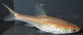 Trigonopoma pauciperforatum female.png