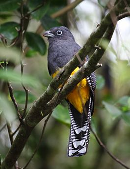 Trogon viridis - White-tailed Trogon (female).jpg