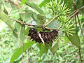 Troides minos - Southern Birdwing Caterpillar at Thattekkadu (3).jpg