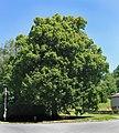 Trstěnice, protected lime tree.jpg