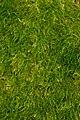 True Moss (Bryopsida) - Gatineau Park.jpg