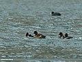 Tufted Duck (Aythya fuligula) (32008139061).jpg