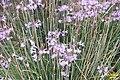Tulbaghia violacea (SG) (32215208783).jpg