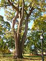 Tulip Tree at Trinity College Campus, Hartford, CT - November 5, 2011.jpg