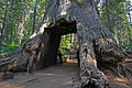 Tunnel tree in Tuolumne Grove.jpg
