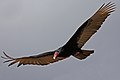 Turkey Vulture (Cathartes aura) (8591589233).jpg