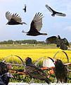 Turkey Vulture east From The Crossley ID Guide Raptors.jpg