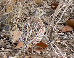Turnix sylvaticus Common buttonquail.JPG