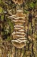 Tweekleurig elfenbankje. (Gloeoporus dichrous) op de stam van een knotwilg 08-01-2020 (d.j.b) 02.jpg