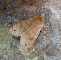 Twin-spotted Quaker. Orthosia munda - Flickr - gailhampshire (1).jpg