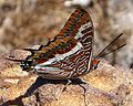 Two-tailed Pasha - Flickr - gailhampshire.jpg