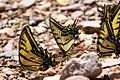 Two-tailed Swallowtail Butterfly - South Fork - Cave Creek - AZ - 2015-07-24at11-56-121 (20737250122).jpg