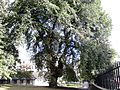 Ulmus glabra. Burr on trunk. Royal Terrace Gardens, Edinburgh (1).jpg