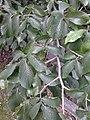 Ulmus glabra (smooth dark green very asymmetrical leaves). North Merchiston Cemetery, Edinburgh (1).jpg
