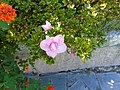 Unidentified Rhododendron.001 - Campañó.jpg