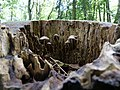 Unidentified fungi on a dead tree in the Spandauer Forst 01.jpg