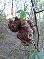 Unidentified galls 05.JPG