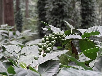 Coffee production in India - Unripe Coffee Pods in Araku Valley, Andhra Pradesh