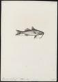 Upeneus luteus - - Print - Iconographia Zoologica - Special Collections University of Amsterdam - UBA01 IZ13000338.tif