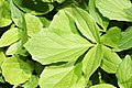Valeriana sitchensis 9773.JPG